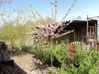 миндаль декоративный трехлопастной (китайская трехлопастная слива, она же «сакура») - цветы махровые, штамб полтора метра крона шарообразная