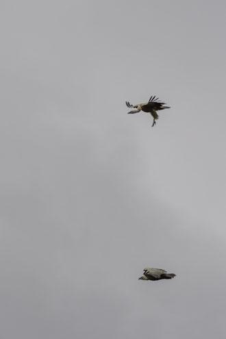 Fíjese el observador en la forma típica de volar el macho, durante el cortejo, por encima de la hembra y con las patas extendidas.