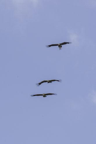 Trío de buitres volando de forma paralela, comportamiento típico observable durante la época de celo de la especie.