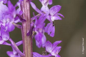 Hormigas sobre flores de Orchis mascula. En algunas especies se ha documentado la polinización realizada por hormigas, que recolectan y transportan los polinios.