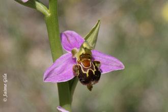 Ophrys apifera es una de las especies que presenta un diseño floral que mimetiza a la hembra de distintas especies de abeja.