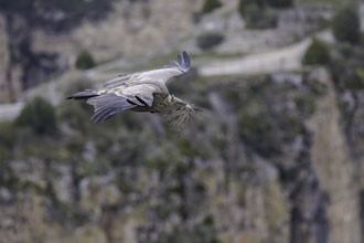 Para el naturalista que se acerca a los cortados del Duratón durante el otoño y comienzo de invierno, las idas y venidas de los ajetreados buitres de la colonia siempre capta su atención.