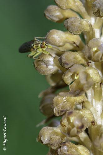 Díptero de la especie Scathopaga stercoraria sobre las flores de Neottia nidus-avis, cuyo néctar atrae especialmente a dípteros.