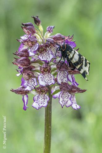 El lepidóptero Arctia festiva sobre Orchis purpurea