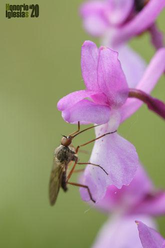 Díptero libando el néctar almacenado en el espolón de una flor de Orchis mascula.