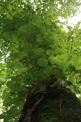 ツル絡むブナ ブナの木を包み大空を埋める生命力