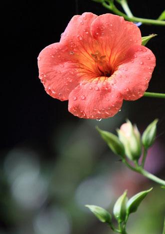 水珠化粧  撮影場所:自宅 雨上がりのノウゼンカズラで、女性らしい華やかさです