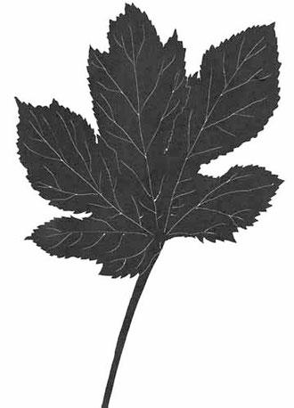 オクラの葉