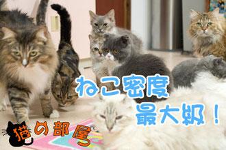 併設猫カフェ猫の部屋。子猫の激安販売【関東・埼玉 猫の部屋セイワ】ブリーダーから直接お迎えで、安心・安い!