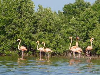 Dzilam de Bravo - Flamingoreservat