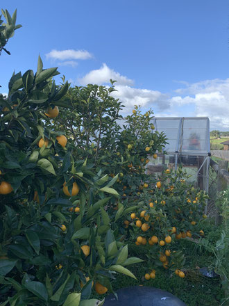 Our trees laden with Citrus - modern homesteading
