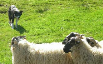 Travail sur moutons, photo pscf 11, Gregg Sloan