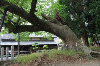 境内の大欅(ケヤキ)