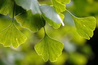 Zurück zur Natur Bäume Gingko Baum Heilpflanze
