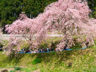 2013,4月29日鶴ケ浦のとあるご自宅のお庭にて