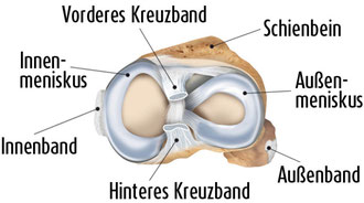 Anatomie Meniskus