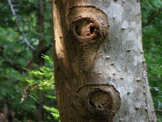 カラスザンショウにチャイロスズメバチの巣を発見