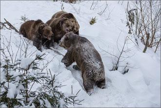 Jungbären bei der Trainingsstunde