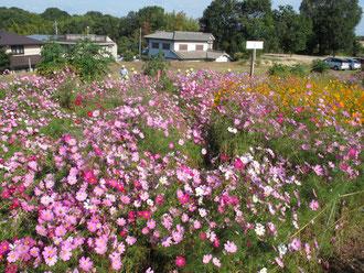 畑一面に咲いたコスモス 1