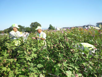 綿摘み(9月26日)