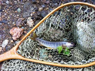 かわいい岩魚