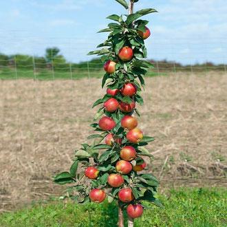 купить саженцы яблонь сорт Вылюта в Клину