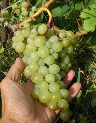 виноград сорт Люси Белая