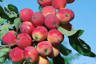 где купить яблоню в Клину