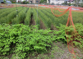 しばらく走ると住宅地の中に麦畑を発見。ここで収穫された麦は何に使われるのだろうか。武蔵野の「地粉うどん」かも?