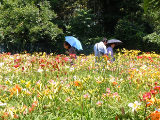 花盛りのヘメロカリス園
