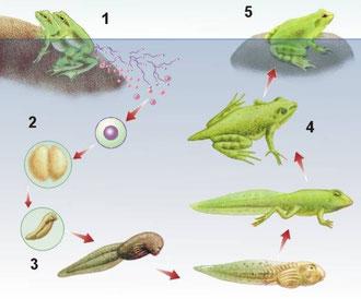 Fecundación y metamorfosis de anuros