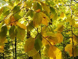 Hojas que se amarillan de acuerdo a la cantidad de horas de exposición a la luz