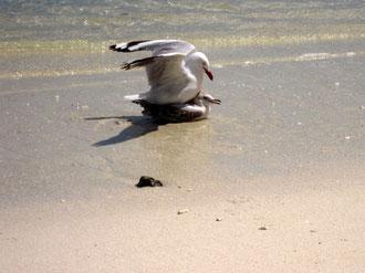 幼鳥にしつけ(せっかん?)するカモメの親鳥