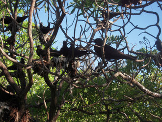 樹上で集団営巣するクロアジサシ