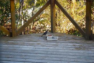 私が一生懸命「谷畑遺跡祭祀遺物」型にクッキーを作っている最中、写真撮影担当者?は、庭に来ている鳥に夢中になっていた。(その時撮影していた沢山の鳥写真の中の一枚)なので、クッキーを作っている時の写真は少なめだったような…たぶんこれはヒヨドリかな?(鳥取で始まり鳥撮で終わる。ごめんなさい)