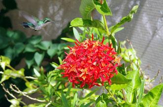 Kolibri  - Urlaub Curacao