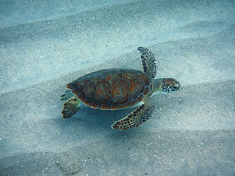 Schildkröte  - Urlaub Curacao