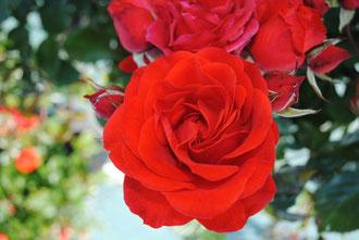 rosier-versailles-palace-roseraie-da-ros-vente-correspondance