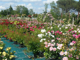 vente de rosier dans le sud ouest roseraie da ros