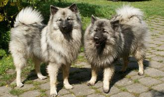 Who is who? Wolfsspitz (?) oder Keeshond (?) -  ungeföhnt nach Spaziergang im nassen Gras ...