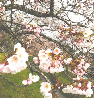 川渡温泉の湯沢川の川沿いも、満開で〜す。
