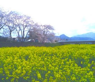 桜も、菜の花も、満開〜^^鳴子の野山にも、春らしい色が増えてきましたよ〜