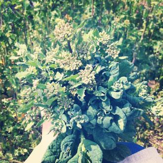 里山は、つぼみ菜やかき菜、春先の菜っぱが、旬を迎えています。摘んでたら、ブーケみたいになりました〜^^