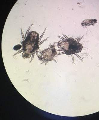 Ear mites magnified under microcope
