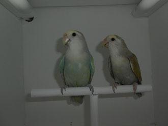 Rossicoli Marblet (macho) y Rossicoli Pálid (hembra)