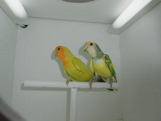 Rossicoli Opalino Arlequin (macho) y Opalina Canela (hembra)
