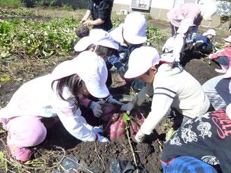 サツマイモ堀り(1学年)