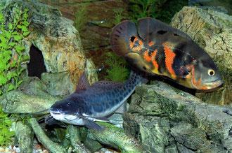 Calophysus macropterus & Astronotus ocellatus