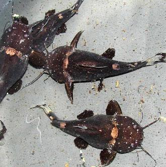Batrochoglanis raninus (Frosch-Fettwels)