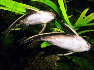 Platydoras costatus